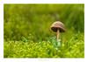 Standing alone (John Joslin) Tags: spring mushroom toadstool moss grass green macro garden