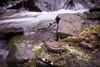 Northern Dusky Salamander (Desmognathus fuscus) (David A. Burkart) Tags: northern dusky salamander desmognathus fuscus bellcounty kentucky usa amphibian herp nature appalachian cumberland mountain