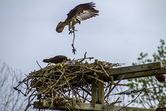 OspreyNest-5 (Wildlifeby_Steven) Tags: animals birdsofprey edited osprey parks touchedup wildlife salem oregon