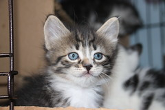 It's Kitten Season! Cats and Kittens at Crafty Cat Rescue (Ann Arbor, Michigan) - Wednesday April 18th, 2018 (cseeman) Tags: cats pets craftycatrescue annarbor michigan shelter adoption catshelter catrescue caring animals kittens craftycatkittens2018 craftycatphotos04182018 foxsquirrels easternfoxsquirrels michiganfoxsquirrels universityofmichiganfoxsquirrels