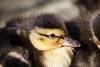 (Carlos Santos - Alapraia) Tags: patinho pato duck ngc ourplanet animalplanet canon nature natureza wonderfulworld highqualityanimals unlimitedphotos fantasticnature birdwatcher ave bird pássaro