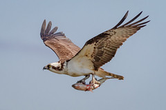 Successful Fishing Trip (tresed47) Tags: 2018 201804apr 20180418newjerseybirds april birds canon7d content ebforsythenwr folder newjersey osprey peterscamera petersphotos places season spring takenby us ngc