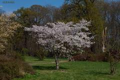 """Leipzig, Rosental, """"Kirschblüten"""" (joergpeterjunk) Tags: leipzig rosental natur outdoor auwald macro blatt blüten kirschblüten canoneos50d canonefs1785mmf456isusm"""