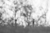 Hinter dem Hügel (IIIfbIII) Tags: grusgrus kranich graukranich schrei mv mecklenburg müritznationalpark frühling balz wildlife nature naturfotografie bird blackandwhite bw black blackwhite baum minimal art fineart fantasticnature abstrakt vögel canon crane