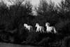 juments camarguaises #1 (S amo) Tags: camargue france troupeau herd mare jument camarguais horse cheval marais swamp