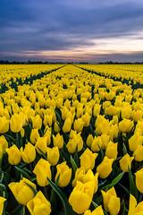 Yellow and purple (Rob Schop) Tags: wideangle spring f56 landscape sunset sonya6000 tullip nederland outdoor bloemen colour samyang12mm lente focusstack a6000 yellow tulpen zonsondergang