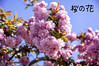 Cherry Blossom (Raginmund) Tags: cherry blossom flower garden tree essex pink blue