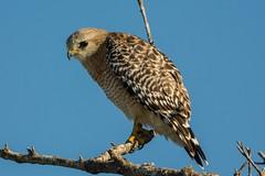 Sideways look (ChicagoBob46) Tags: redshoulderedhawk hawk bird florida bunchebeach nature wildlife coth5 ngc npc