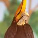 Hornbill Facing Forward