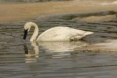 "On ""colder"" pond (ChicagoBob46) Tags: trumpeterswan swan bird yellowstone yellowstonenationalpark nature wildlife coth5 ngc npc"