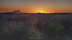 Lavandes à Valensole au couchant (Nat_L2_photographies) Tags: jaune valensole lavandes lavender field champs ruine couchant sunset