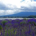 Lavender and Fuji ラベンダーと富士山 thumbnail
