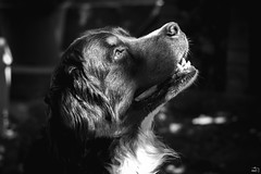 168/365 (misa_metz) Tags: nikon photo photography animal dog outdoor summer portrait blackandwhite black bw manual hélios lights