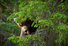 Is it safe now? (CecilieSonstebyPhotography) Tags: bjørn youngbear cute finland bears teddybear canon animal brownbear bear tree bamse peekaboo canon5dmarkiii ef100400mmf4556lisiiusm markiii hiding closeup specanimal coth5