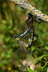 DSC01194 - Black tailed Skimmers (steve R J) Tags: black tailed skimmers west canvey marshes rspb reserve essex odonata dragonfly british