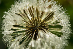 Dewy dandy (alideniese) Tags: macro closeup flora dandelion seedhead 7dwf nature wildflower waterdrops water droplets alideniese round centre middle bokeh cold frosty