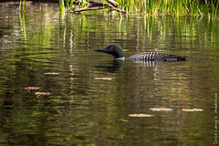 At Home In The Water (Larry E. Anderson) Tags: bearheadlake bearheadlakestatepark commonloon gaviaimmer landof10000lakes minnesota bird lake seasons spring water