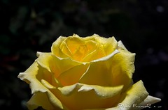 Sombras en amarillo - shadows in yellow (Luis FrancoR) Tags: engativa bogotadc colombia col ngc ngs ngg nikonflickraward nikon nature flowers flores flor florinedita sombras en amarillo shadows yellow jardinbotanicobogota j