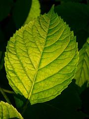 A hydrangea leaf (Raoul Pop) Tags: garden summer plants hydrangea outdoors sunlight evening leaf home