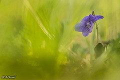 Violeta. (mianpascual) Tags: orestor meyer optik gorlitz 135mm f 28 spring primavera violeta