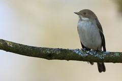 Pied Flycatcher (Edwyn Anderton) Tags: piedflycatcher flycatcher peakdistrict padleygorge padley longshaw longshawestate femalepiedflycatcher