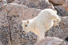 Mountain Goat kid bounds by - Sequence - 15 of 17