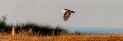Barn Owl and the evening sun (Steve (Hooky) Waddingham) Tags: bird british barn wild wildlife countryside coast nature northumberland prey photography owl