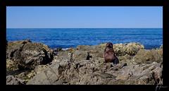 2018-04-22_Kaikoura_weekend_016.jpg (Rojobin) Tags: type beach kaikoura portraits landscapes seals animals nz newzealand places