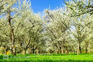 Kirschbaumblütenwiese