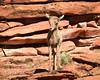 Curious Desert Big Horn Lamb (barneskent) Tags: desert big horn sheep lamb zion national park