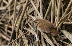 9Q6A9651 (2) (Alinbidford) Tags: alancurtis alinbidford brandonmarsh nature wildbirds wildlife wren