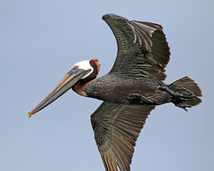 perfect flight (Dianne M.) Tags: brownpelican nature feeding colorful mature feathers plumage sky bird florida