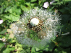 Dandelion Clock (Redcognito) Tags: dandelionclocks dandelionclock weeds dandelions seeds seedheads