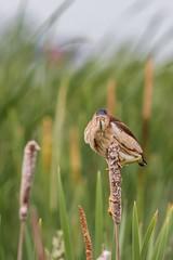Petit blongios (11) (boisvertvert1) Tags: petitblongios leastbittern michelboisvert 2018 birds canon canada québec oiseauxduquébec canon70d wildlife marais