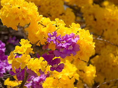 """Yellow Trumpet (Cortez; Tabebuia Ochracea) and Purple Trumpet (Cortez Negro; Dandipani) in flower in Costa Rica  - The Yellow Trumpet is also called the """"Princess of the jungle"""" (Unni Henning (also Instagram @unnikarin59)) Tags: cortez tree yellow tabebuiaochracea corteznegro dandipani princessofthejungle costarica closeup colourful spring floweringtrees purple plant april yellowtrumpet purpletrumpet"""