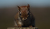 apr23 2018 1 (Delena Jane) Tags: delenajane dfo macro red redsquirrel canada closeup newfoundland ngc pentaxart