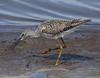 F_042218c (Eric C. Reuter) Tags: birds birding nature wildlife nj forsythe refuge nwr oceanville brigantine april 2018 042218