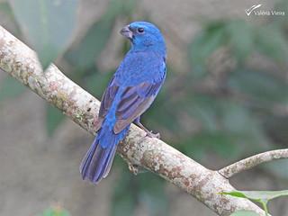 Azulinho (Cyanoloxia glaucocaerulea) - Glaucous-blue Grosbeak, male