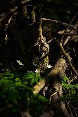 Spring is here! - Frühling!! (Vera Arnold) Tags: spring frühling buschwindröschen wald forest woodland green grün pflanzen flower blume weis white intimate landscape