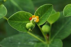 Euphorbia togakusensis Hayata  ハクサンタイゲキ