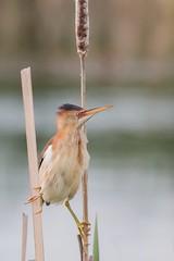 Petit blongios (14) (boisvertvert1) Tags: petitblongios leastbittern michelboisvert 2018 oiseauxduquébec birds wildlife marais eau faune canon canada canon70d canoneos70d québec ef300mmf4lisusm