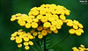 Tanacetum vulgare (Common Tansy) (danniepolley) Tags: tanacetum vulgare common tansy