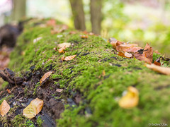 Moss focus in the forest (✦ Erdinc Ulas Photography ✦) Tags: lenstagger bos amsterdam netherlands forest nederland holland green groen tree hexanon konica dutch autumn wood bokeh amsterdamse focus boom mos moss macro grass soil rock panasonic leaf nature