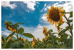 La soif des tournesols (Pascale_seg) Tags: paysage landscape countryscape campagne champ sunflower flower fleur été summer jaune yellow sun soleil moselle lorraine grandest france nikon sky nuages clouds