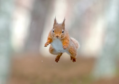 Red Squirrel (Chas Moonie-Wild Photography) Tags: red squirrel wild scotland jumping ngc rodent
