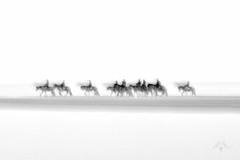 Endless Walk (Marjolijn Kraaij) Tags: marjolijnkraaij icm horses beach monochrome