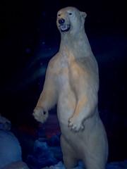 Polar Bear (Ursus maritimus) (Adventurer Dustin Holmes) Tags: 2005 springfield missouri ozarks springfieldmo greenecounty indoor animal animalia chordata mammal mammalia taxidermy polarbear white ursusmaritimus hypercarnivorous carnivora ursidae ursus umaritimus carnivore