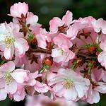 "Cincinnati – Spring Grove Cemetery & Arboretum ""Raindrops On Pink Crabapple"" thumbnail"