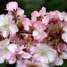 "Cincinnati – Spring Grove Cemetery & Arboretum ""Raindrops On Pink Crabapple"""