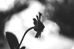 Pensive (Kathy M photography) Tags: pensive bw blackandwhite blackwhite blackwhitegray bokeh flower flowerpower flowerandmacro flora nature natura sony sonyalpha kathymphotography macro macrophotography macrolens macroflower macroart